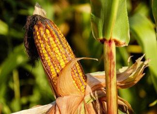 Poznaj zalety mąki kukurydzianej